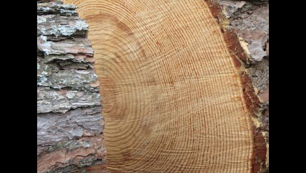 This week, we're talking about dendrochronology, which came to mind when your photographer happened to spot a tree which had been cut down in his hometown. I believe it was a pine tree. The image of the circles in the tree was eye-catching.
