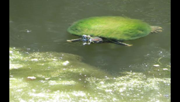 """Something in the """"that seems a little bit odd category"""": spotted this turtle swimming around in a pond. It might be kind of hard to tell, but the turtle's shell appeared to be covered with a fashionable green fur coat. Twelve seconds of research on the internet (so, once again, it must be true), led to information on a website called allturtles.com (really) which shared: """"Algae growing on a turtle shell is normal. In fact most wild turtles have some algae growing on their carapace."""""""