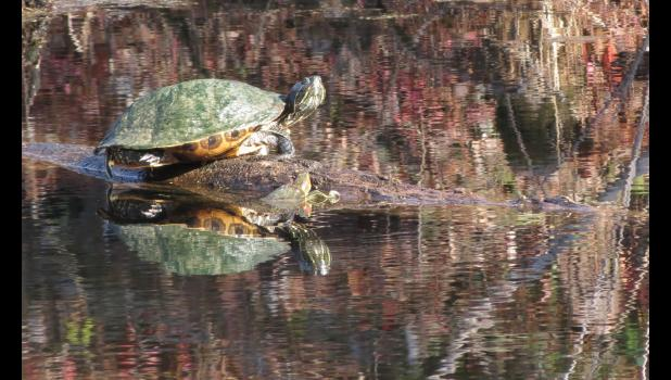 A while back, I hinted that you might have seen the last photograph of a turtle for 2020. Forgive me. Can't help myself. Especially if I see one of the cold-blooded critters on the 10th day of December. Just did not seem right. Then again, not much of anything about 2020 has seemed right. Right?