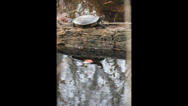 A turtle might not be a creature one would expect to spot on a winter afternoon in Southern Illinois. This turtle was seen on the afternoon of Dec. 26 at a pond in Union County. On the day that the photograph was taken, the high temperature reached 67 degrees in Jonesboro.