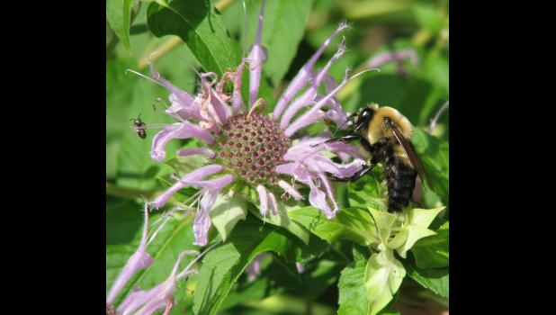 Two bees, or not two bees...that would be the question. However, William Shakespeare was not around when the picture was taken, mainly 'cause he's dead, except maybe for that new show on TNT, which I've only seen once. By accident. There was no mention of bees, in any numbers or any kind, on the show.