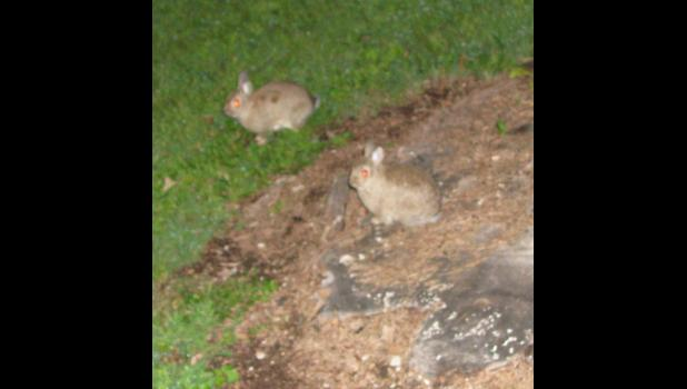 Little Bunny Foo Foos? Don't know for sure. Maybe we could call them Little Bunnies Two Two. The bunnies didn't have much to say. I can tell you that it's kind of hard to get a decent picture of a bunny in the dark.