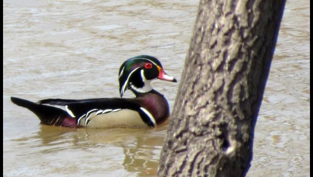 We didn't see any snakes during our adventure last Sunday afternoon, but we did spot several colorful wood ducks out on the river.