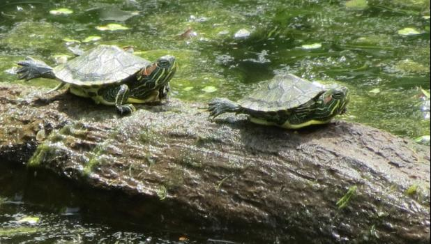 Cute little ones? Of course they are...spotted these young turtles basking on a tree limb in water at the pond at the Lincoln Memorial Picnic Grounds.