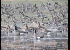 Geese had flocked to an area with water on a recent winter afternoon at the Union County State Fish and Wildlife Area near Ware. The photograph was taken near the main road which runs through the fish and wildlife area.